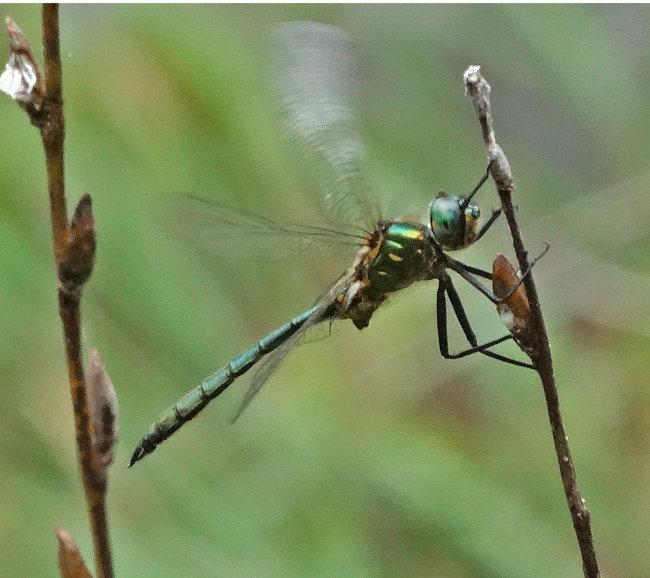 Somatochlora meridionalis (Balkan Emerald)