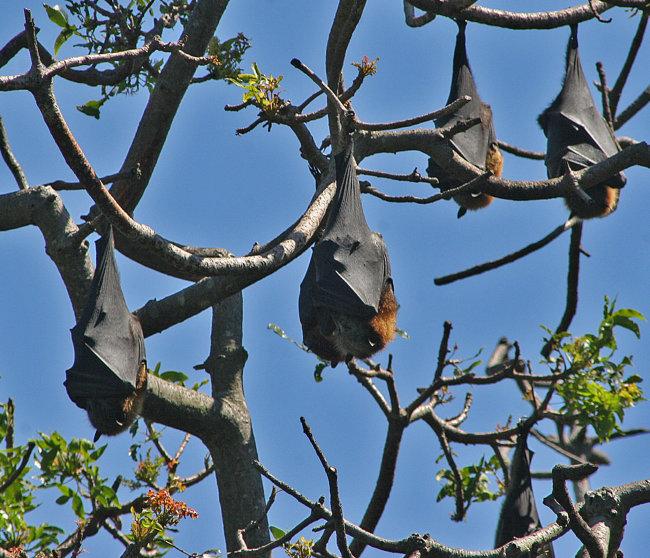 Fruit Bat Roost