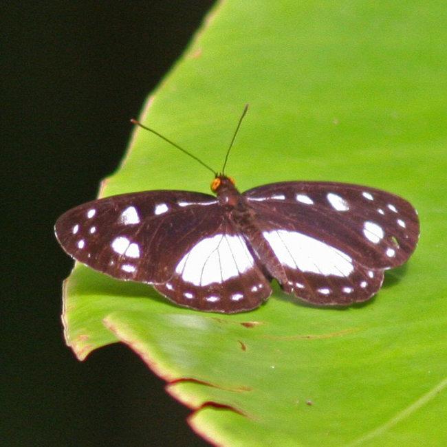 Tellervo zoilus