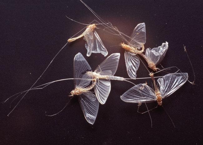 Mayfly - Ephoron virgo
