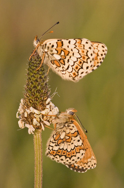 Glanville Fritillary (female above male)