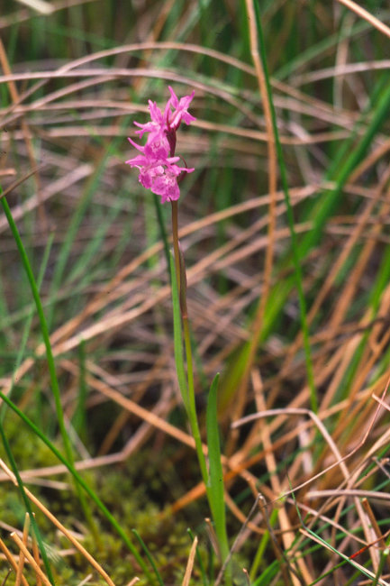 Narrow Leaved Marsh Orchid - Dactylorhiza Traunsteineri