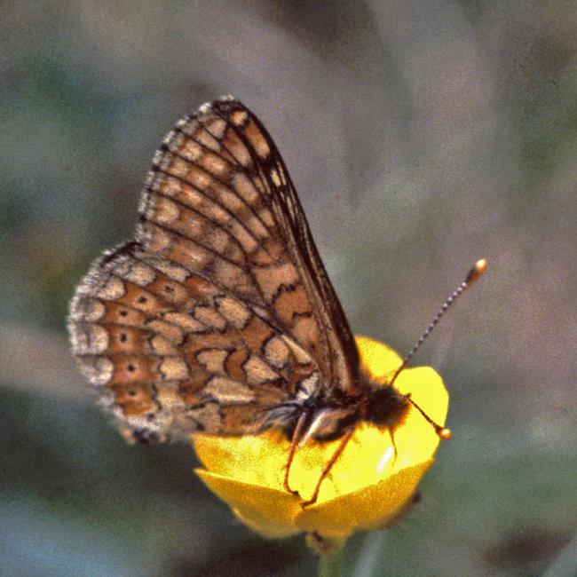 Marsh Fritillary
