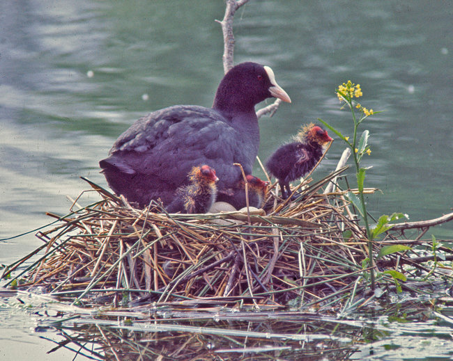 Coot with nest