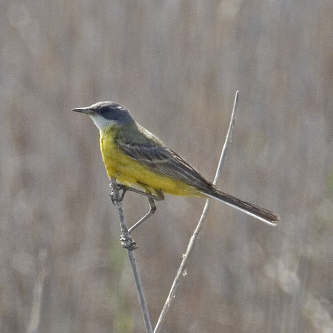 Yellow Wagtail - Grey-Headed (Cinereocapilla)