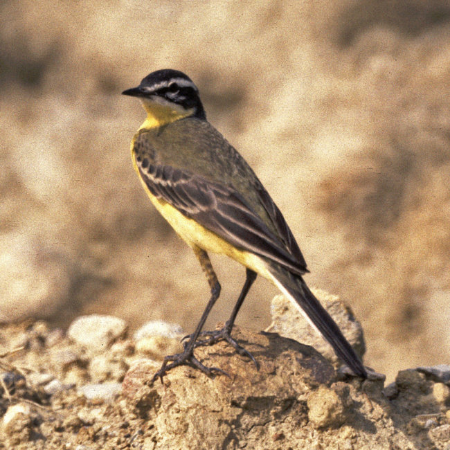 Yellow Wagtail - Blue-Headed (Flava)