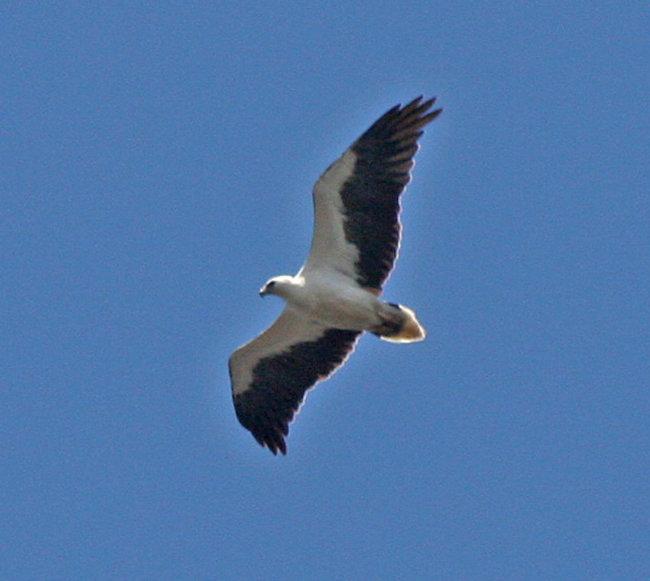 White-bellied Sea Eagle adult