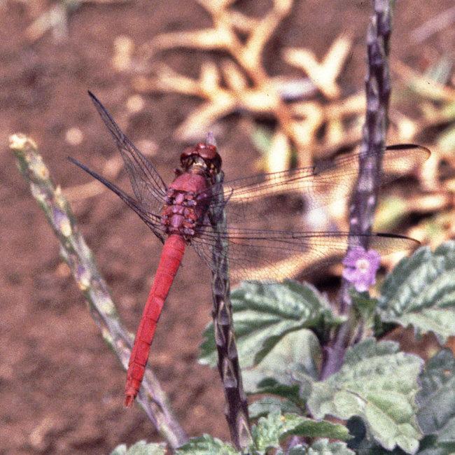 Orthetrum ferruginae