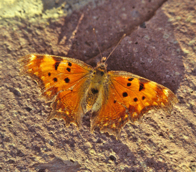 Southern Comma