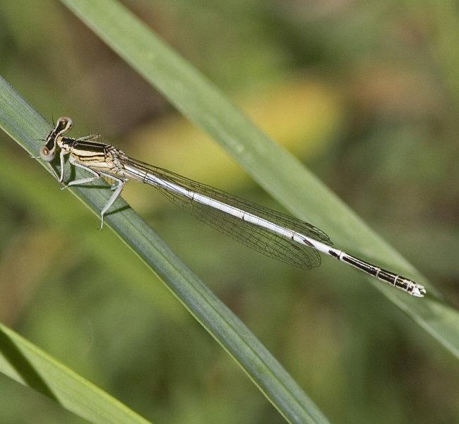 Platycnemis latipes - WhiteFeatherleg