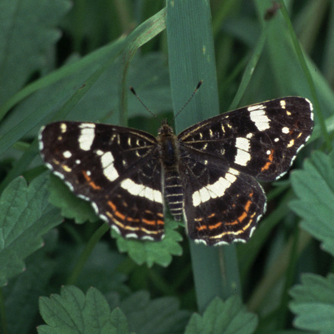 Map Butterfly - 2nd generation