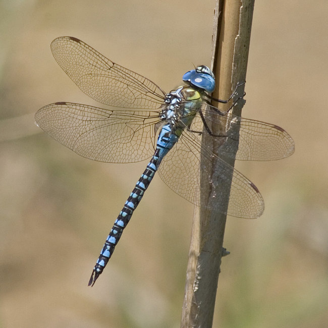 Aeshna affinis - Southen Migrant Hawker