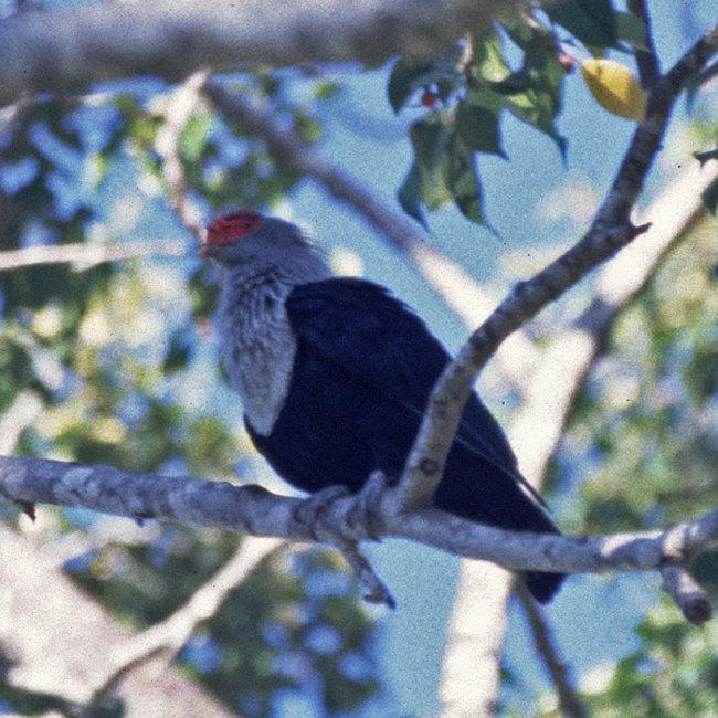 Seychelles Blue Pigeon