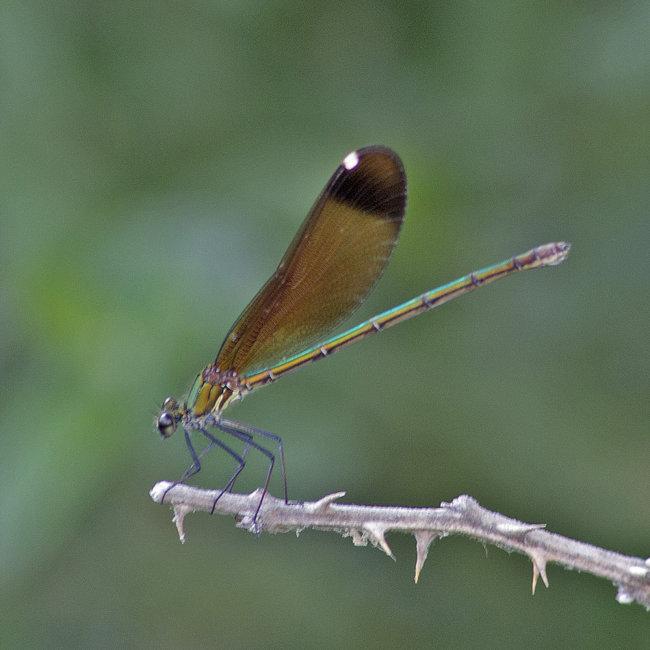 Calopteryx haemorrhoidalis  F - Copper Demoiselle