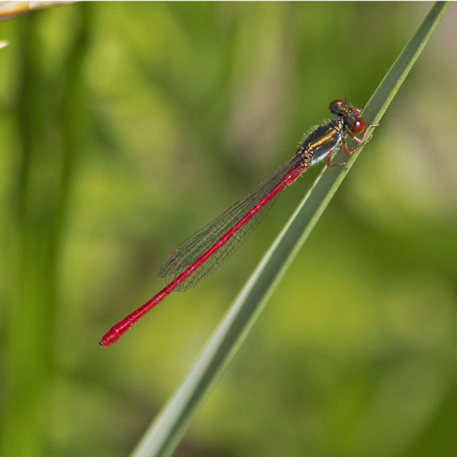 Ceriagrion tenellum M - Small Red Damselfly
