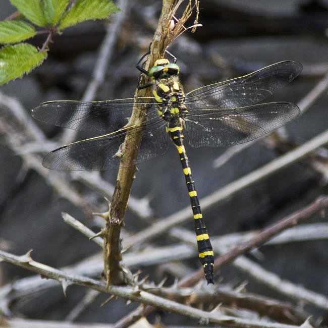 Cordulegaster boltonii - Golden-ringed Dragonfly