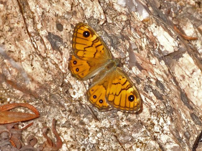 Corsican Wall Brown