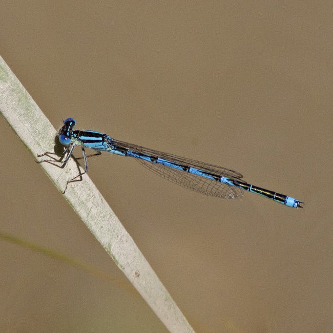 Erythromma linenii - Goblet-marked Damselfly