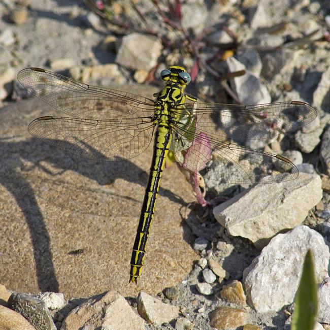 Gomphus simillimus - Yellow Clubtail