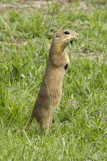 Suslick Ground Squirrel