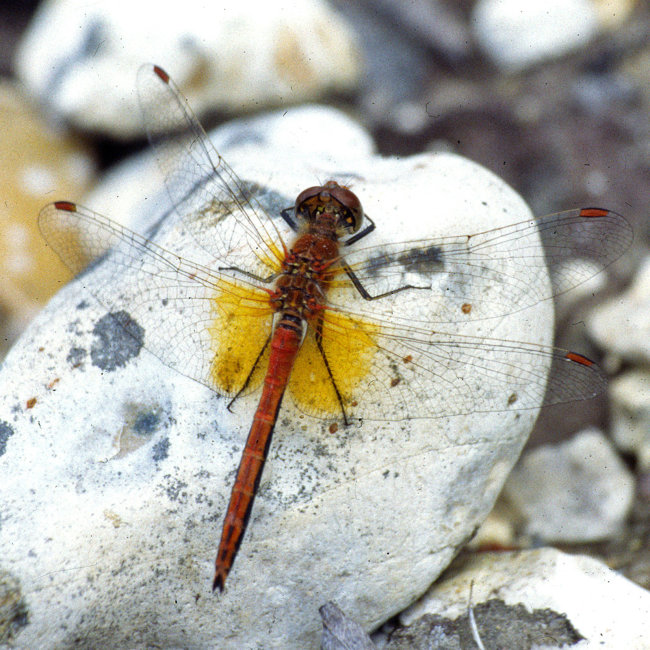 Sympetrum flaveolum - Yellow-winged Darter (male)