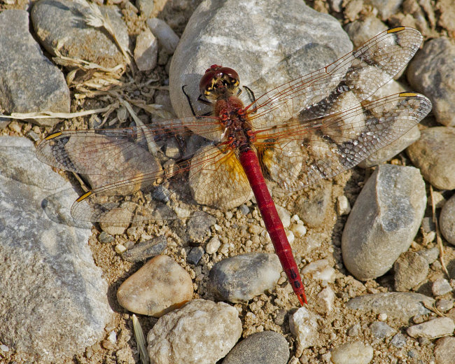 Sympetrum fonscolombii M - Red-veined Darter