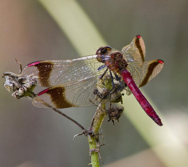 Sympetrum pedemontanum M - Banded Darter