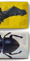 Mokohinau stag beetle