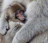 Macaque suckling