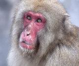 Scar faced macaque