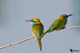 Little Green Bee-eater (Merops orientalis)
