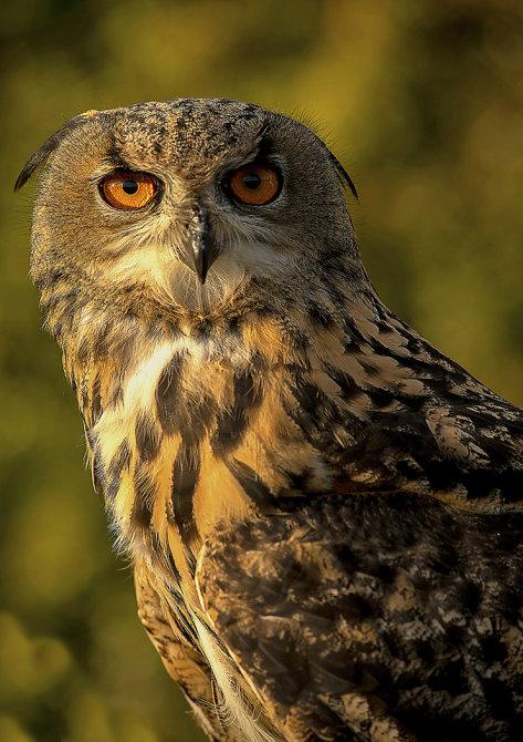 WS43 Eagle owl