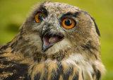 WS8 Eagle Owl