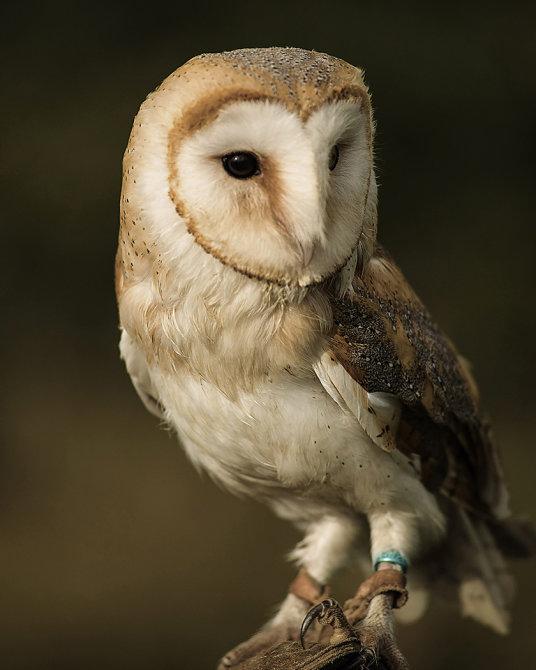 WS9 Barn Owl