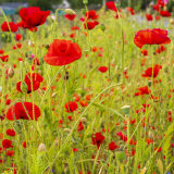 Poppies in Bankfoot