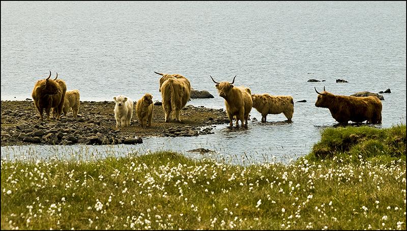Highland cows at Bragar