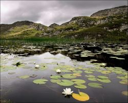 Lilies on a lochan