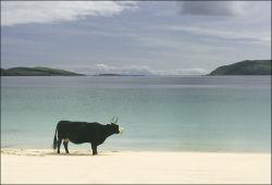 Vatersay Cow
