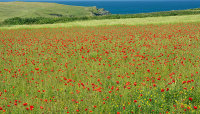 Common Poppy- Papaver rhoeas