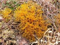 """Lichen - Golden Hair Lichen - """"Teloschistes flavicans """""""