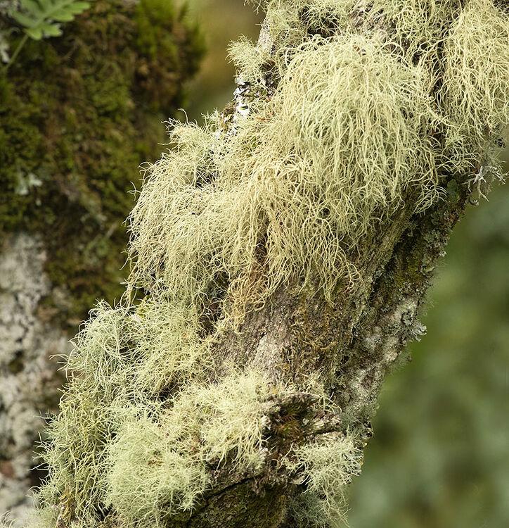 Lichen - 1
