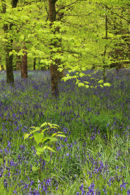 BLUEBELL WOODS (Lanhydrock))