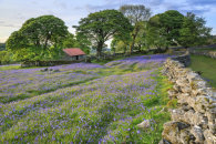 BLUEBELLS AT EMSWORTHY MIRE