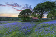 BLUEBELLS AT SUNSET (Emsworthy Mire)