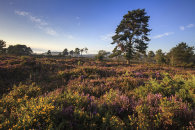 EVENING LIGHT ON WOODBURY COMMON