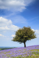 LONE TREE IN BLUEBELLS
