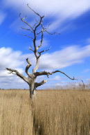 LONE TREE IN REEDS (Snape Maltings)