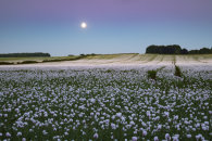 MOON OVER OPIUM POPPY FIELDS