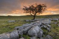 HAWTHORN TREE (Winskill Stones)