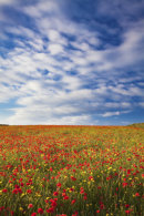 POPPY FIELD (West Pentire)